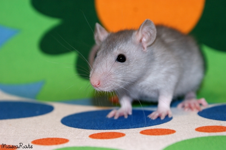 La Portée - De la saillie au sevrage des ratons  - Page 2 DSC09539_zpsab5942fc