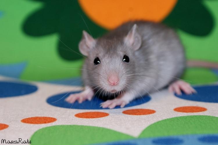La Portée - De la saillie au sevrage des ratons  - Page 2 DSC09540_zps4f9921b0