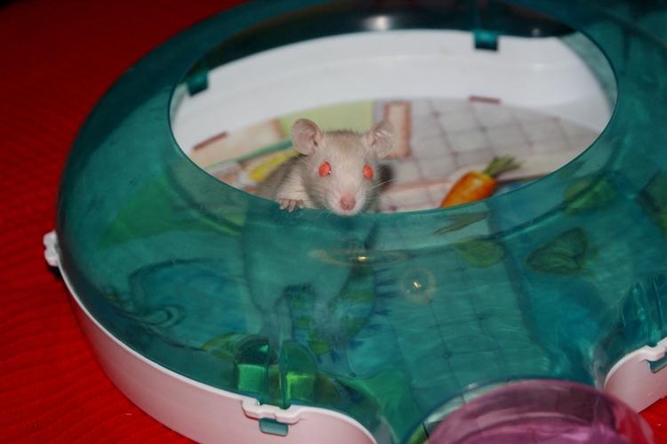 La Portée - De la saillie au sevrage des ratons  - Page 2 DSC09608_zps1b113338