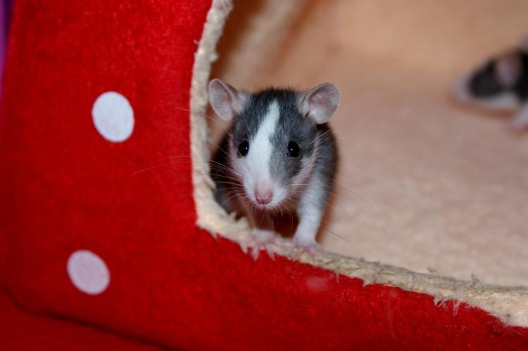 La Portée - De la saillie au sevrage des ratons  - Page 2 DSC09616_zps783beb9a