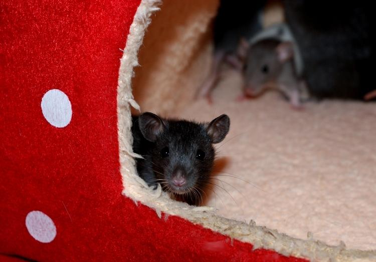 La Portée - De la saillie au sevrage des ratons  - Page 2 DSC09627_zps0dd22c5d