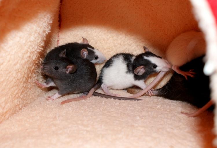 La Portée - De la saillie au sevrage des ratons  - Page 2 DSC09635_zpsda46cc6a