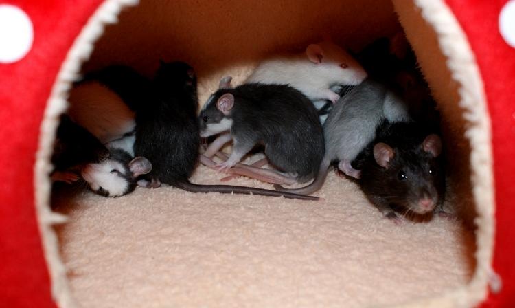 La Portée - De la saillie au sevrage des ratons  - Page 2 DSC09652_zpsd1db3994
