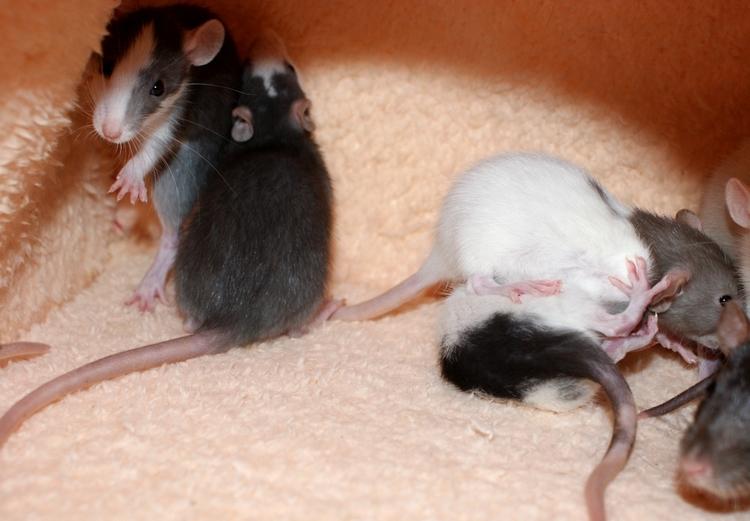 La Portée - De la saillie au sevrage des ratons  - Page 2 DSC09654_zps9b6fe9b6