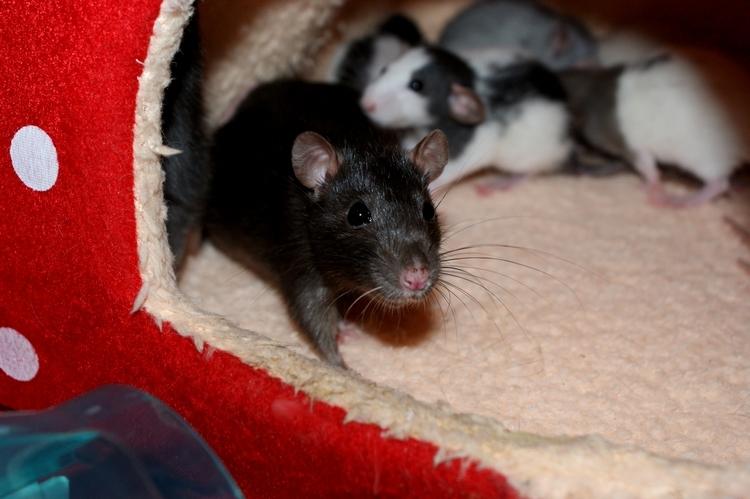 La Portée - De la saillie au sevrage des ratons  - Page 2 DSC09666_zps4bc2b28a