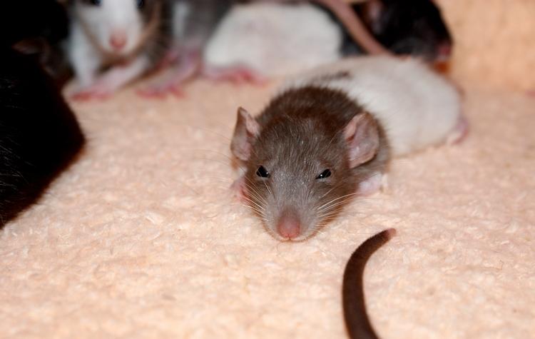 La Portée - De la saillie au sevrage des ratons  - Page 2 DSC09675_zpsd0a1a326