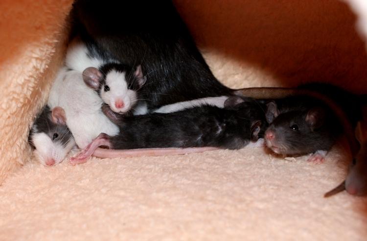 La Portée - De la saillie au sevrage des ratons  - Page 2 DSC09691_zps5ba62683
