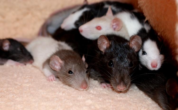 La Portée - De la saillie au sevrage des ratons  - Page 2 DSC09702_zpsc3902467