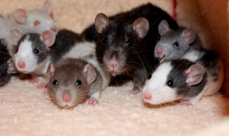 La Portée - De la saillie au sevrage des ratons  - Page 2 DSC09703_zps2aa068a1