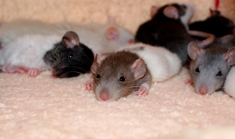 La Portée - De la saillie au sevrage des ratons  - Page 2 DSC09708_zpsabeaf7a7