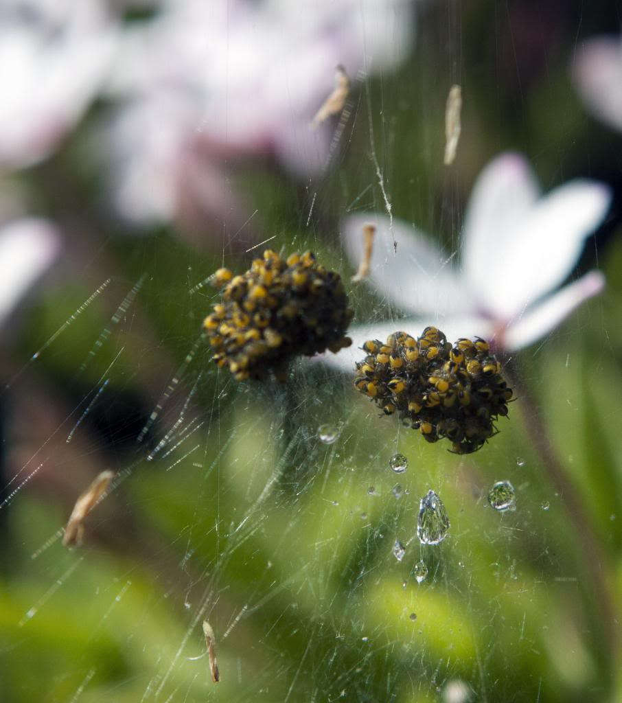 Spider Nursery? IMG_3296_zpsfd5c23a5