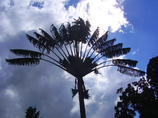 Trees - Page 2 Madagascar05_07084