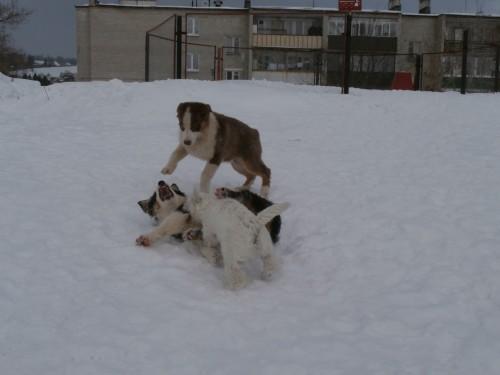Мои собаки: Зена и Шива и их друзья весты 4b8ed6b46959f7fdbde01b57d308bafb