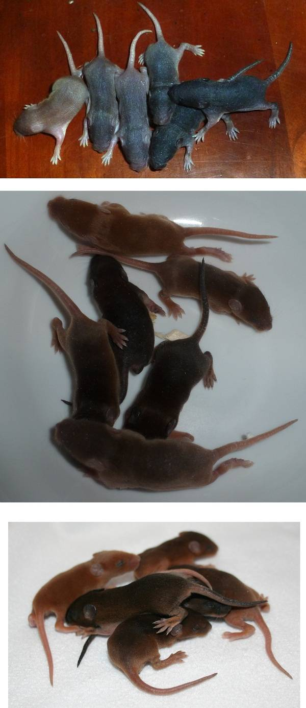 One Post with the growth of a litter! Red to Black Tan 2_zpse9eba34d