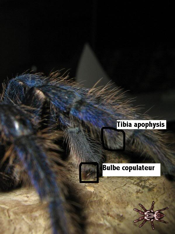 informations generales Theraphosidae 4bb72e16