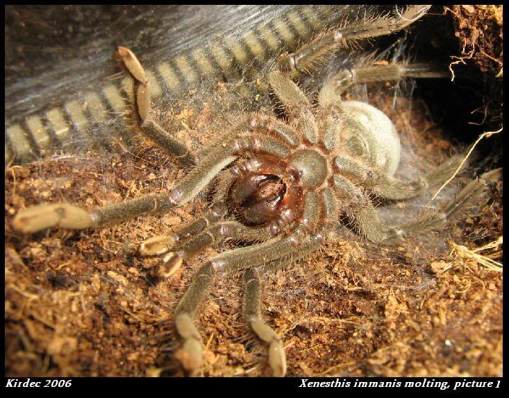 informations generales Theraphosidae Molting1