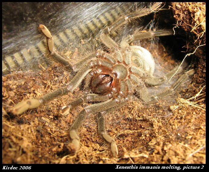 informations generales Theraphosidae Molting2