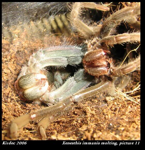 informations generales Theraphosidae Molting11