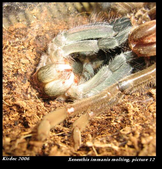 informations generales Theraphosidae Molting12