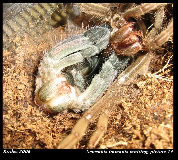informations generales Theraphosidae Molting14