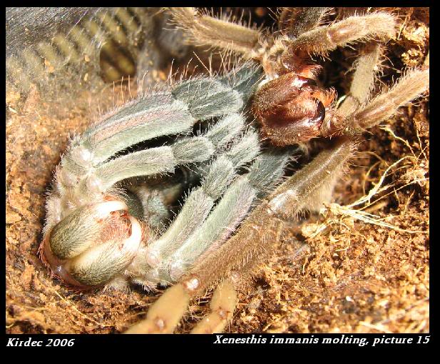 informations generales Theraphosidae Molting15