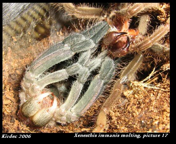 informations generales Theraphosidae Molting17