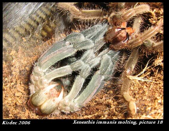 informations generales Theraphosidae Molting18