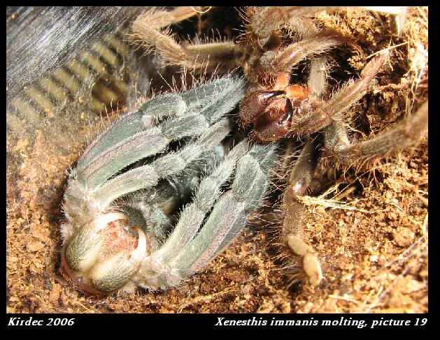 informations generales Theraphosidae Molting19