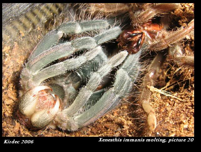 informations generales Theraphosidae Molting20