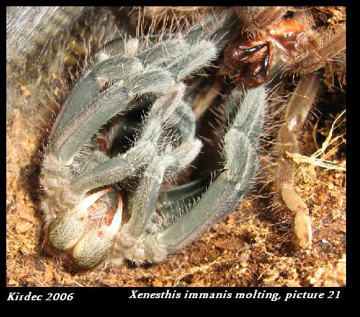 informations generales Theraphosidae Molting21