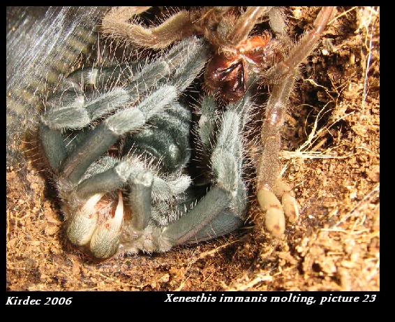 informations generales Theraphosidae Molting23