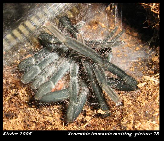informations generales Theraphosidae Molting28