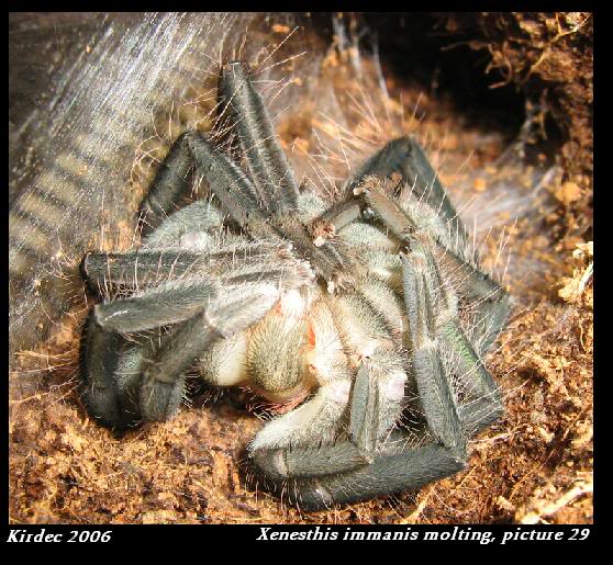 informations generales Theraphosidae Molting29