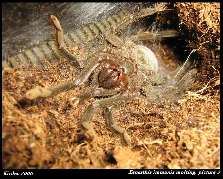 informations generales Theraphosidae Molting3