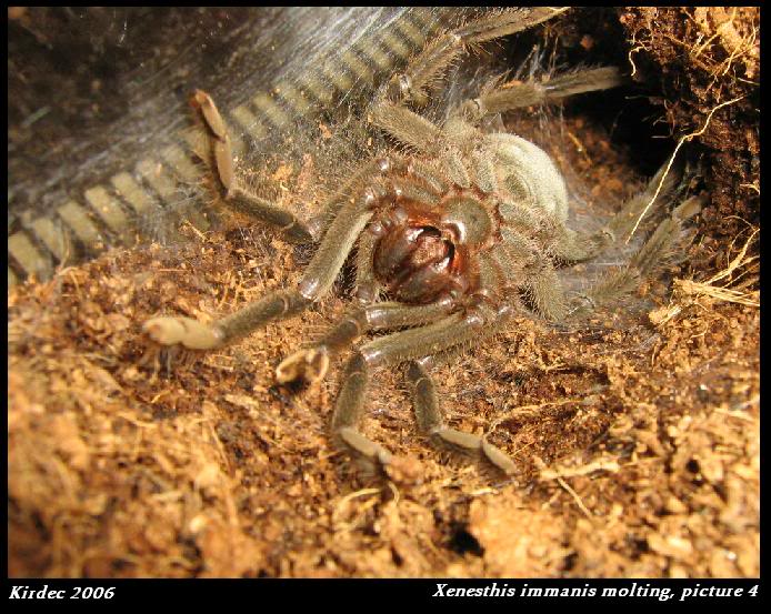 informations generales Theraphosidae Molting4