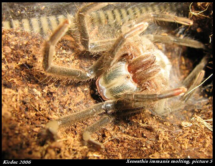 informations generales Theraphosidae Molting5