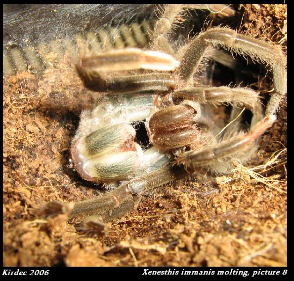 informations generales Theraphosidae Molting8