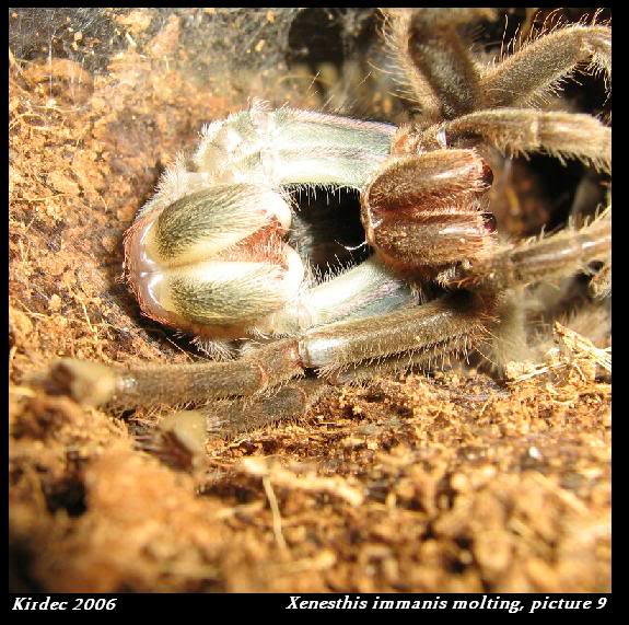 informations generales Theraphosidae Molting9