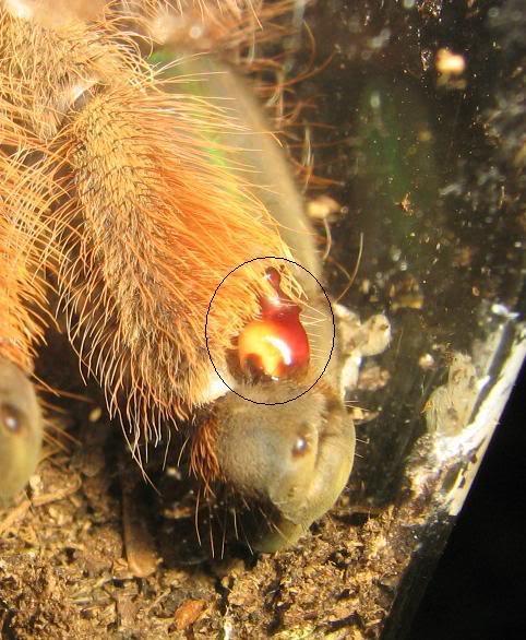 informations generales Theraphosidae Bulb2