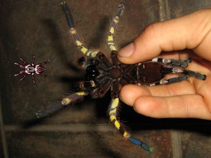 informations generales Theraphosidae Fasciataventral
