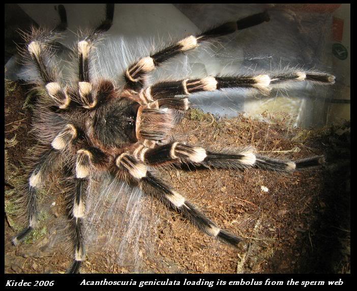 informations generales Theraphosidae Loadingembolus
