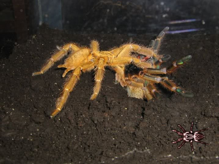 informations generales Theraphosidae Mating-1