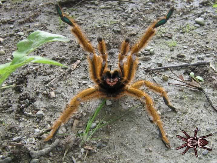 informations generales Theraphosidae Murinusdisplay