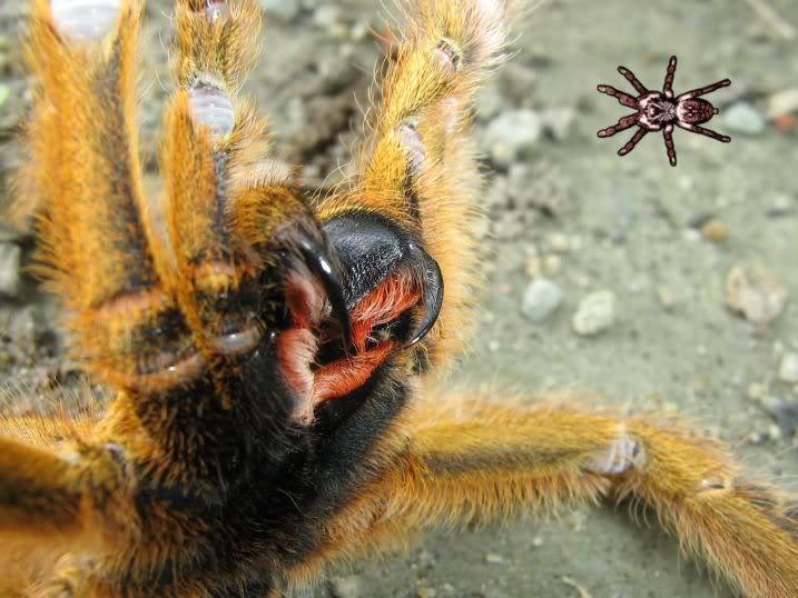informations generales Theraphosidae Murinusfang
