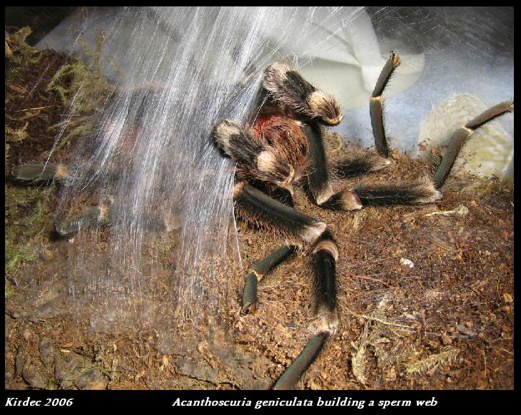 informations generales Theraphosidae Spermweb