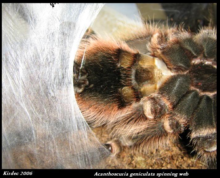 informations generales Theraphosidae Spinningweb
