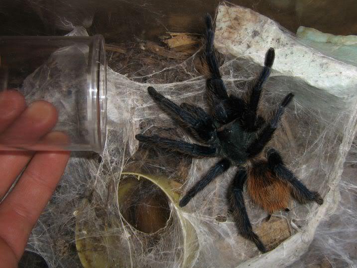 informations generales Theraphosidae Transfer1-1