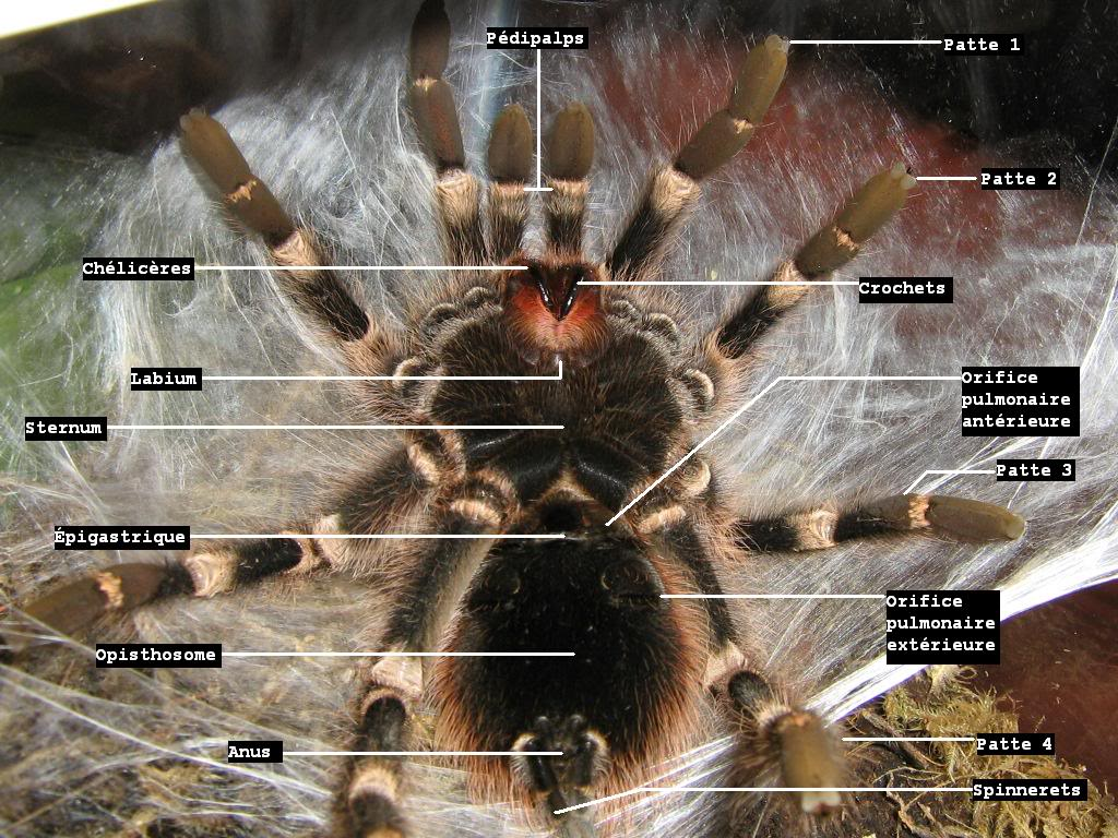 informations generales Theraphosidae Ventralanatomie