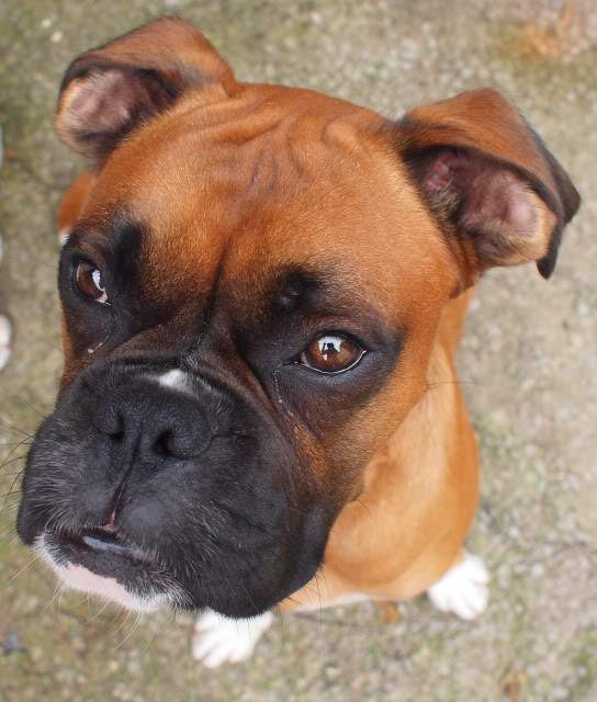 Bruno, Boxer - Gwent PA091107_edited-1