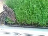 My quailies settling in Th_DSC00144